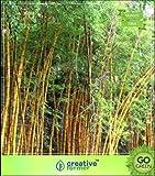 Pinkdose Seltene goldene Bambus Samen Bambus-Pflanzen-Samen Gold Garden Bambus Bambus Samen Seed