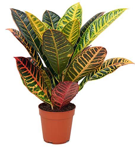 Wunderstrauch - Croton, (Codiaeum variegatum), buntlaubige luftreinigende Zimmer und Büropflanze, (im 12cm Topf, Sorte: Petra (gelb-grün))