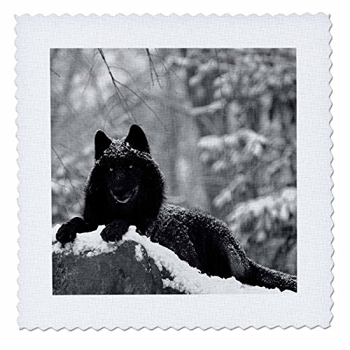 3dRose Rocky Mountain Wolf, Schwarz Weiß, Quilt, Platz, 6von 6(QS 100280_ 2) -