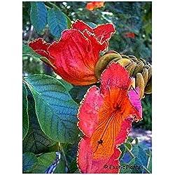 Spathodea campanulata - Afrikanischer Tulpenbaum - 20 Samen