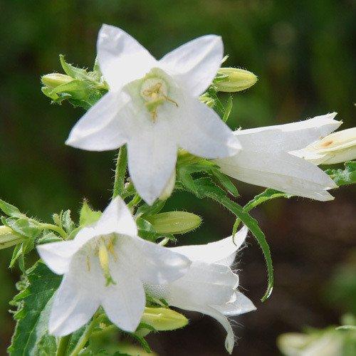 Plant World Seeds - Campanula Trachelium Alba Seeds
