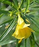 15 Thevetia nerifolia Samen, glückliche Mutter Samen, Gelb Oleander, mexikanische Oleander Samen,