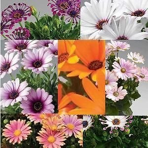 Pack x6 Cape Daisy Osteospermum 'Sunny Mixed' Summer Bedding Plug Plants