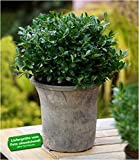 BALDUR-Garten Immergrün Luxus Globe der Buchs-Ersatz, 1 Pflanze winterhart dunkelgrüne Stechpalme