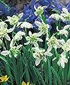 Gefüllte Schneeglöckchen Galanthus nivalis Flore Pleno von Blumenhandel Ullrich bei Du und dein Garten