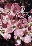 "TROPICA - Roter Blüten - Hartriegel (Cornus florida ""rubra"") - 15 Samen"