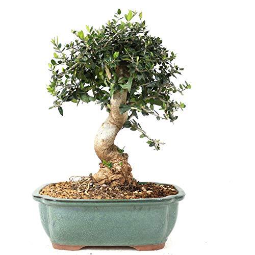 Bonsai, Olivenbaum, Olea europaea sylvetris, 12 Jahre, 29 cm Höhe