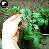 Shopmeeko Kaufen Echt Gynostemma Semente 400 stücke 2017 NEUE Pflanze Kraut Jiaogulan Wachsen Medizin Kräuter Gynostemma Pentaphyllum