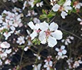 Filzkirsche, Nankingkirsche, Sorte `Orient´, 30-40cm im Topf, Prunus tomentosa