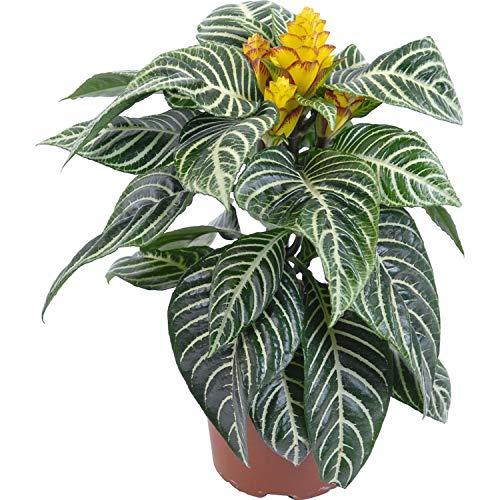 Aphelandra Squarossa - 30 Samen - Sehr schöne Zimmerpflanze