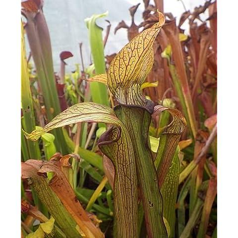 Sarracenia rubra ssp. rubra long lidded form - Sarracena, Planta de jarra Norteamericana, Plantas trompeta, Cuerno de caza - 10