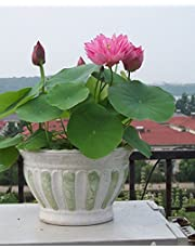 SPHTOEO Hydroponic Aquatic Plant Flowers Seeds (Pink, 20 Pieces)