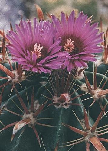 Tropica - Kakteen - Teufelszunge (Ferocactus latispinus) - 40 Samen