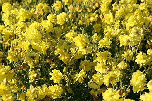 Helianthemum x cultivars 'Gelbe Perle' - 3 Pflanzen im 0,5 lt. Vierecktopf