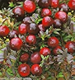 Potseed Cranberry rusos Frutas Semillas - Hardy híbrido Invierno