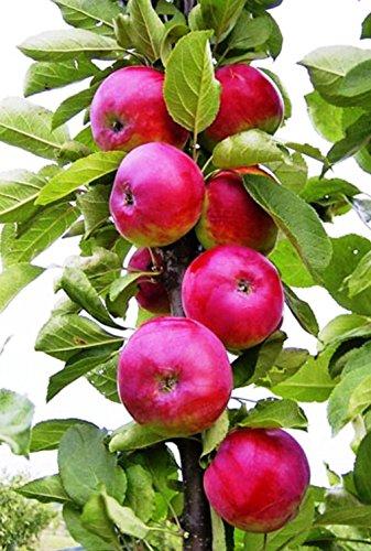 """Säulenapfel""""DGIN"""", Apfelbaum 2 jährig ca.80/100cm. im Container.Säulen Spätsommer Äpfel"""
