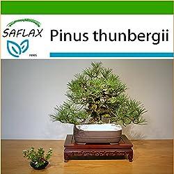SAFLAX - Bonsai - Japanische Schwarzkiefer - 30 Samen - Mit Substrat - Pinus thunbergii