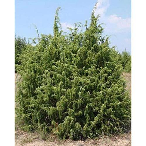 FERRY Sementi biologiche Solo Non è Piante: 100 Semi: Semi di ginepro, Juniperus in TRAGHETTO