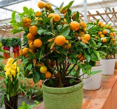 Bloom Green Co. ! La perte Promotion 10 Pcs Balcon Patio pot fruits planteur d'arbres bonsaïs Kumquat orange Tangerine Citrus, UTK81T: 2