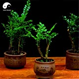 #4: Indian Red Sandalwood Grow Rare Wood Aromatic Flowers Tree Seeds Sold By- Vasuworld