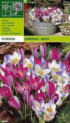 """Crocus - Krokus """" MIX Blue Pearl + tommasinianus roseus """" (15) von Mosselman bei Du und dein Garten"""