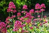 Portal Cool Centranthus Ruber (rouge Valériane) 40 Seeds- Jupiter Barbe -Longest Blooming par