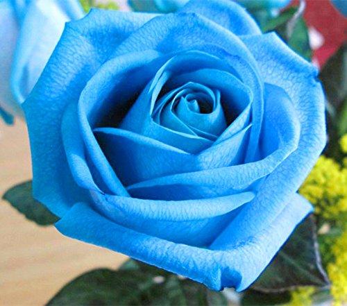 Promotion de perte !!! de 200pcs/sac couleur rose rare arc en ciel bleu noir graines rose maison graines bonsaï jardin plantes vivaces de fleurs exotiques 8