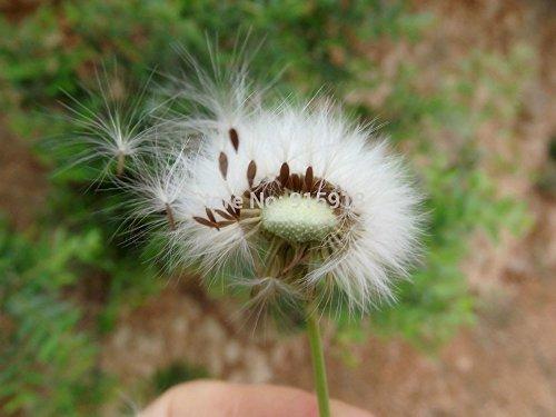 graines de vanille de pissenlit, peuvent détoxifier, réduire l'enflure - 200 Pcs particules de semences