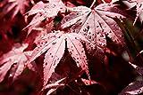 Acer palmatum Bloodgood - roter asiatischer Fächerahorn - verschiedene Größen - PALLETTENVERSAND INNERHALB DEUTSCHLAND (150+ cm - 50ltr.)