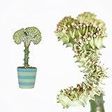 EUPHORBIA 30cm +/- Lactea CRISTATA inklusive farbenfroher Übertopf in zufälliger Farbe/ Zimmerpflanze / Kakteen / Sukkulent / Kammartig / Wellenartig / Einzigartig / unikat