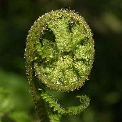 Wurmfarn, Dryopteris filix mas von VDG-Stauden auf Du und dein Garten