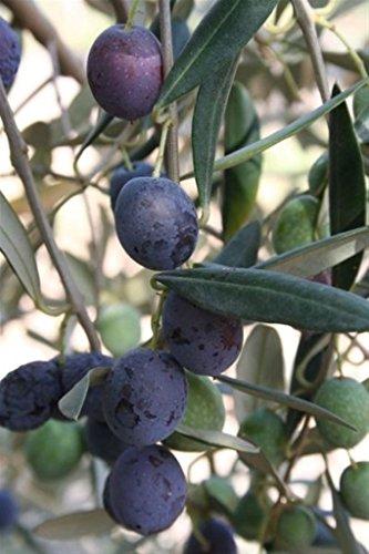 ALBERO DI ULIVO -OLEA EUROPAEA-A NOLCA DOLCE DA TAVOLA- pianta da frutto da esterno