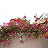 AGROBITS 10 Samen/pack Förderungen! Bunte Bougainvillea spectabilis Willd Samen Bonsai Pflanze Blumensamen Stauden Bougainvillea Samen: A2