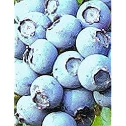 Heidelbeere - Vaccinium corymbosum - Blueray - Blaubeere - robust, sehr gut Winterhart, aromatische mittelfrühe Sommerbeere