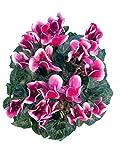 Alpenveilchen purple-weiß - Pflanzen mit bezaubernden Blüten