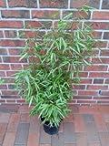 3 Stück Bambus, Fargesia Rufa, Höhe: 80-90 cm, winterhart und sonnenfest