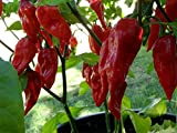 Asklepios-seeds® - 100 Semillas de Bhut jolokia Naga Jolokia, Bih Jolokia, Ghost Chili, Ghost Pepper, Naga Morich