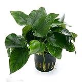 Amérique du Sud. Hauteur : 20–40 cm- Lumière : haute - Température : 20°–28°C -Dureté de l'eau : moyenne pH 5-8- Plan : avant - Culture : facile, une des plus populaires Anubias. Elle est très jolie dans un ensemble d'une douzaine de plantes...
