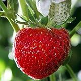 Erdbeerpflanze 'Senga Sengana'