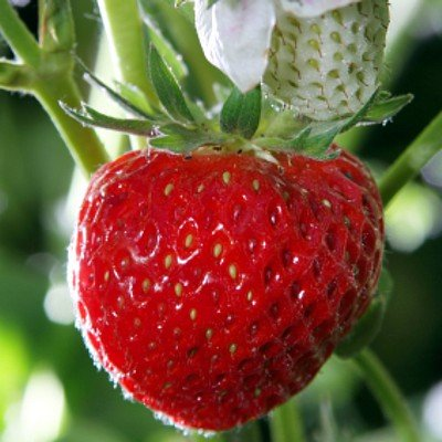 lichtnelke - Erdbeerpflanze Erdbeere 'Senga Sengana' (Fragaria vesca)
