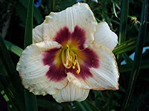 flowerpowerfarm- Taglilien: Blueberry Candy Hemerocallis
