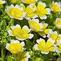 Spiegelei-Blume (Limnanthes douglasii) von Lichtnelke Pflanzenversand - Du und dein Garten