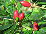 #6: Miracle Exotic Berry Fruit (Synsepalum dulcificum) healthy live plant. Organically grown. [LAST ONE]