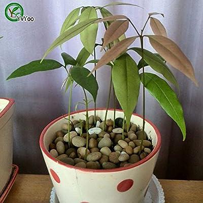 Nuevas semillas Oficina de escritorio para macetas Litchi árboles frutales Semillas de marihuana planta de interior de alta tasa de germinación de 10 PC T016