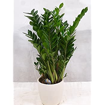 palmenlager zamioculcas zamiifolia gro er zamia farn 110 cm pot 24 cm gl cksfeder. Black Bedroom Furniture Sets. Home Design Ideas