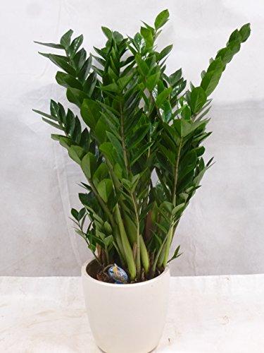 """[Palmenlager] - Zamioculcas zamiifolia - großer""""Zamia Farn"""" 120 cm - Pot 27 cm - Glücksfeder - Zimmerpflanze"""