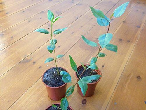 pistachio-tree-pistacia-vera-l-5-seeds-