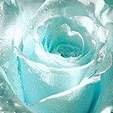 Ncient 20/50 Semilla de Rosa Azul Claro Flower Semillas Jardín Balcón Decoración,Flores Raras Semillas de Plantas Bonsai para Maceta Jardín Balcon Interior y Exteriores