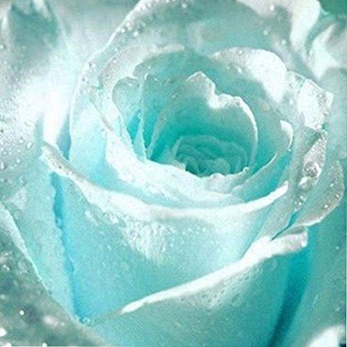 Galleria fotografica Ncient 20/50 Semi Sementi di Rosa Blu Chiaro Semi di Fiori Rari Pianta Profumati per Orto Giardino Balcone Interni ed Esterni