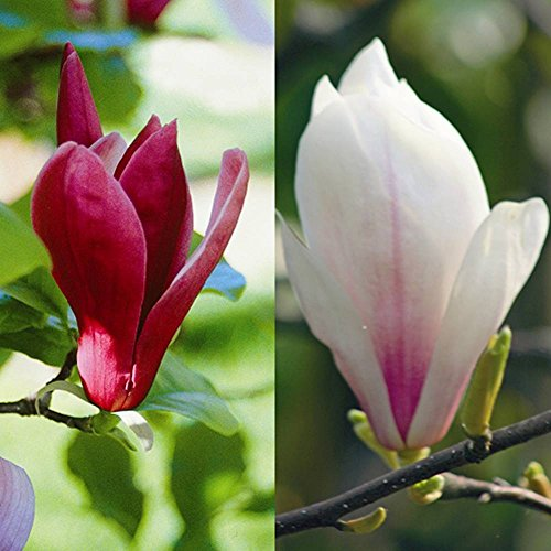 magnolien-kollektion-soulangiana-susan-2-straucher